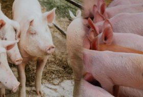Pig Farming Business Proposal